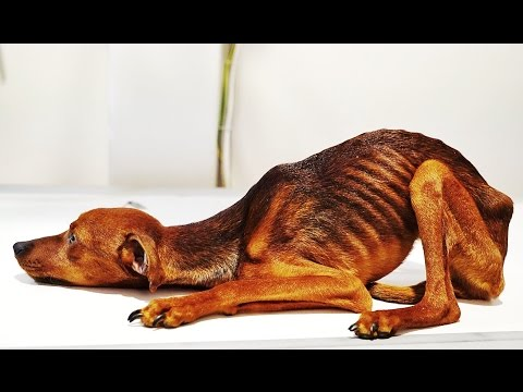 DOG RESCUED WITH EXTREME STARVATION AND NEGLECT HELP US SAVE HIM