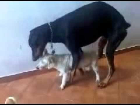 Xxx Mp4 Animals Having Sex Breeding Reproducing Dogs Mating 4 Best Funny Animals 2014 3gp Sex