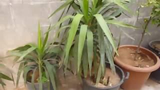 طريقة زراعة و اكثار نبات اليوكا في المنزل How to grow Yucca plants