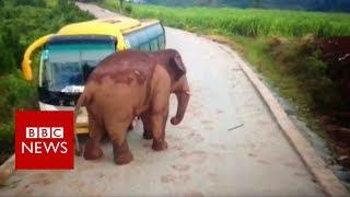 Wild elephant attacks a bus - BBC News