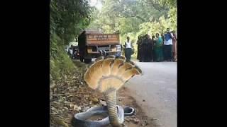Seven headed snake real video