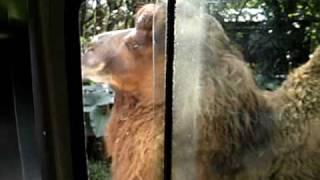 David e o camelo