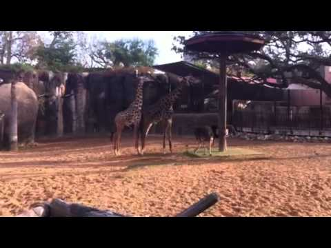 Gay giraffes at the Houston zoo