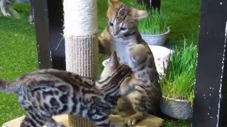 Two bengal kittens playing with each other!!