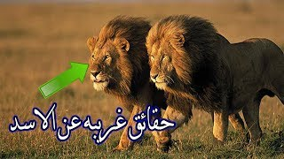 لن تصدق | هل تعلم أن الأسد أقوى حيوان على وجه الأرض !!! يخاف من حيوان نيص