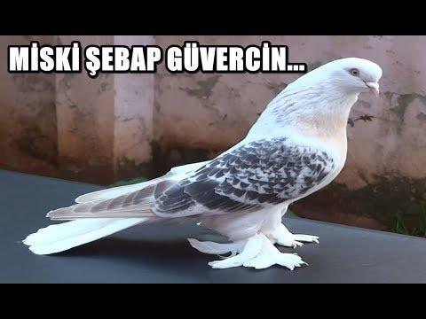 MİSKİ ŞEBAP GÜVERCİN VİDEOLARI - İstanbul 1.lik Almış Güvercinimiz