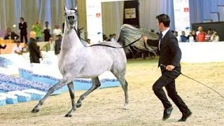 Dubai International Arabian Horse Championship 2014