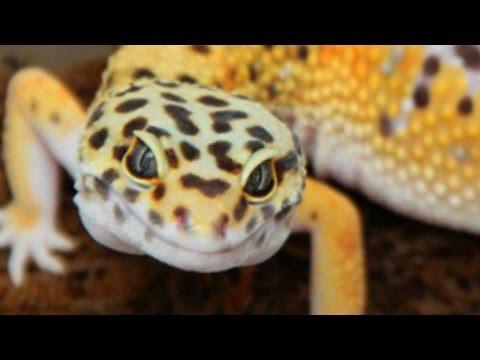ULTIMATE LEOPARD GECKO BREEDING SETUP SnakeBytesTV