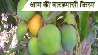 आम की यह बारहमासी किस्म 12 महीना फल देती है   Common this Mango variety gives 12 months fruit.