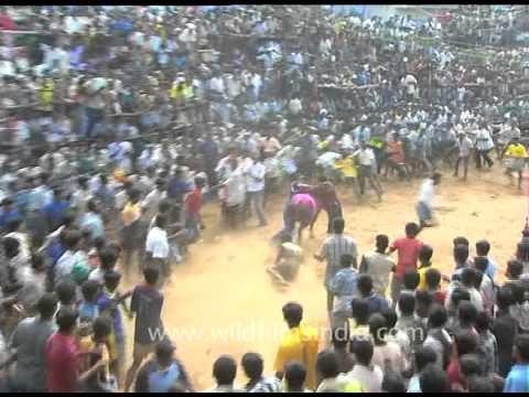 Xxx Mp4 Jallikattu Festival Of Tamil Nadu 3gp Sex