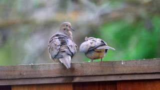 Mourning Doves mating and allopreening