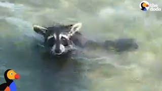 EXHAUSTED Raccoon Rescued From MIDDLE Of A Bay | The Dodo