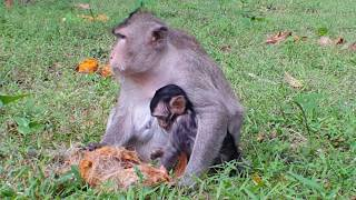 Baby Monkey​ cry because​ by​  brother,Mother eating brown fruit ,HD # 144