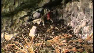 Steinadler (Aquila chrysaetos) nest / Sokol sťahovavý