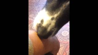 Dog cleaning a wound. And using his teet.