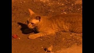قط يلاعب فار