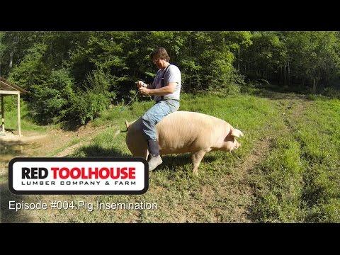Episode 4 Pig Insemination Artificial insemination on pastured hogs