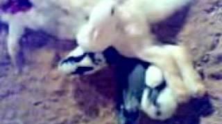 يوتيوب ام ارانب اكلها الثعلب وصغارها يريدون ايقاضها ليرضعو ولاكن لااستجابه