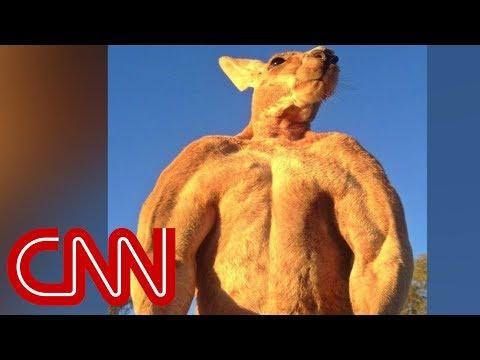 200 pound ripped kangaroo crushes metal