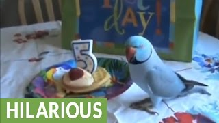 Parrot celebrates birthday party with bird friends