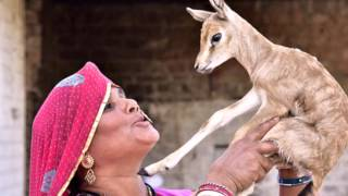 The Bishnoi mothers  of Rajasthan who use their own breast milk to rear wild fawns