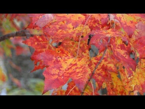 Autumn leaf color, New England fall foliage, Mehdi Falling Leaves