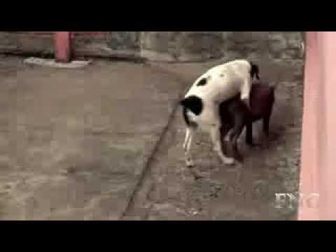 Akhir dzaman...Anjing kawin dengan babi......