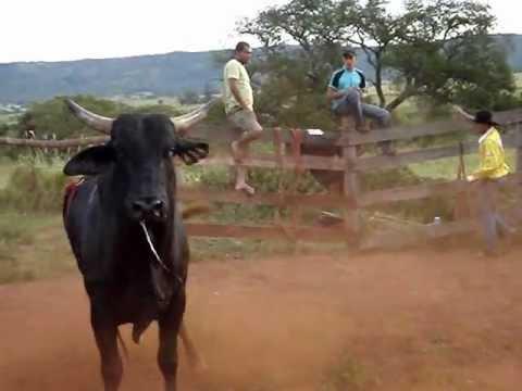 Rodeo bulls Brazil