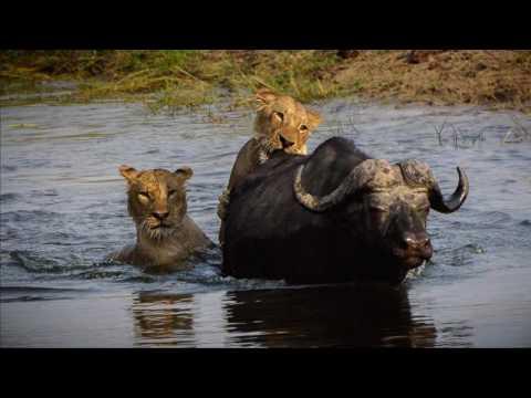Chobe National Park Lions attack Buffalo Oct 10 2016