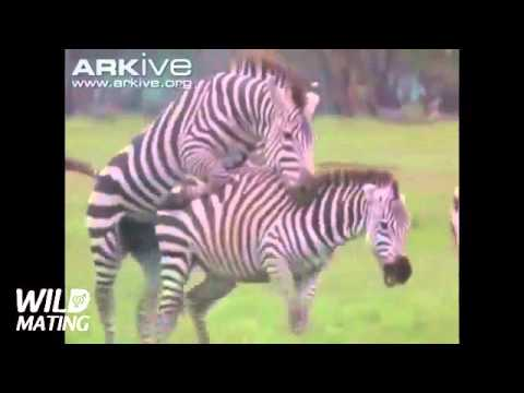 Zebra mating sex 2016