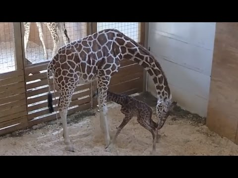 Xxx Mp4 How April The Giraffe Is Bonding With Her New Son And Teaching Him How To Gallop 3gp Sex