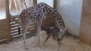 How April The Giraffe Is Bonding with Her New Son and Teaching Him How to Gallop
