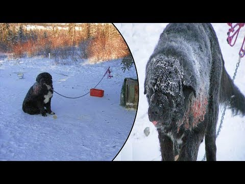Xxx Mp4 This Wounded Dog Was Left Chained In Subzero Weather For 4 Years – Until Rescuers Heard Of His Fate 3gp Sex
