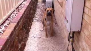 Dogue De Bordeaux and Bull Arab x Mastiff