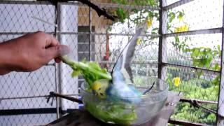 রিও লেটুস পাতার পানি তে গোসল করে