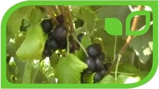 Breeding for better black currants