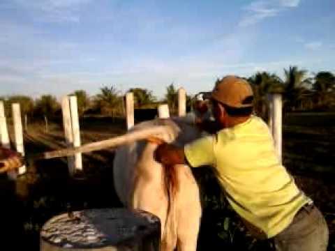 Beto Vaqueiro com a Mão no Cú da vaca...