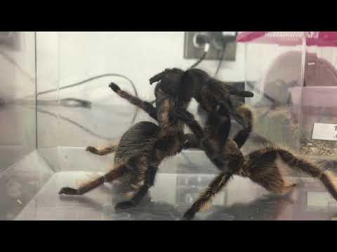 Xxx Mp4 Tarantulas Having Sex 3gp Sex