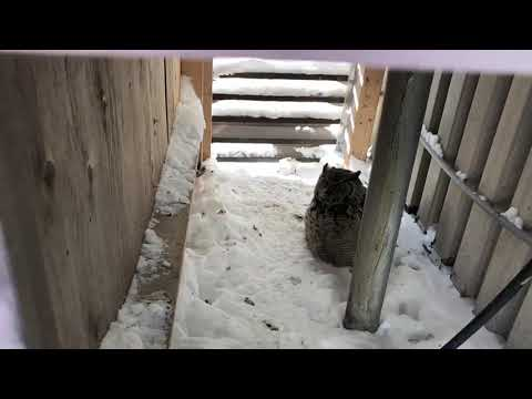 Xxx Mp4 Wildlife Canada Great Horned Owl Freed From Rooftop 2 English Lads 3gp Sex