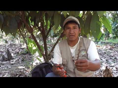 Obtención vara yemera para injerto cacao Quechua