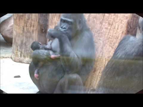 Vids porn gorilla free download 11