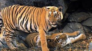 Cubs Come of Age | David Attenborough | Tiger | Spy in the Jungle | BBC
