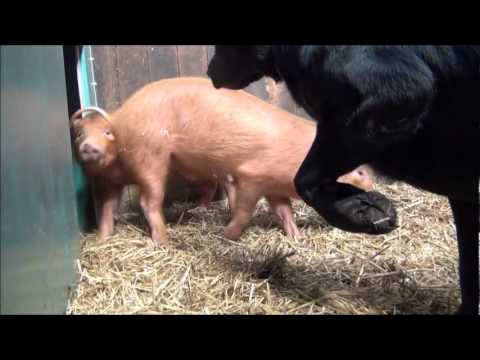 Pip the dog meets Pigs