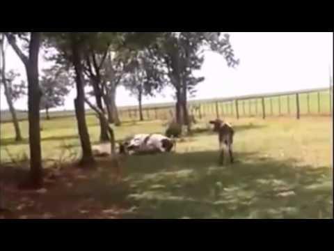 Çılgın koyun kafa attığı ineği bayılttı
