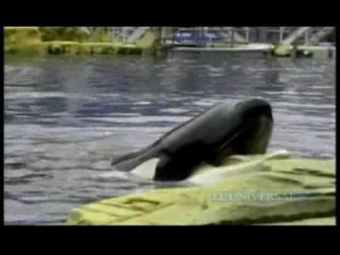 Captan a entrenadora antes del ataque de orca