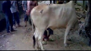 Cow funny video in bangladesh