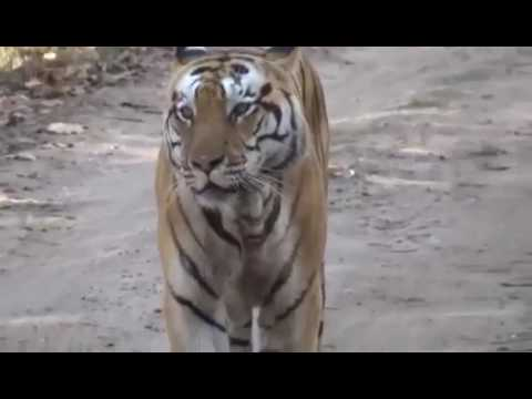Indian Tiger moving in forest search of water Jim Corbett Bijnor