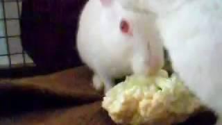 Funny rabbit video, white rabbit having fun