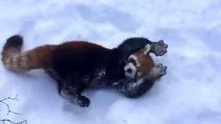 Red Pandas are Having Snow Much Fun - Cincinnati Zoo