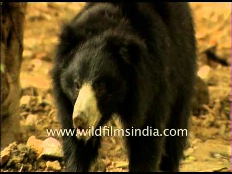 Xxx Mp4 Sloth Bear In Forest Pool During Hot Dry Indian Summer 3gp Sex